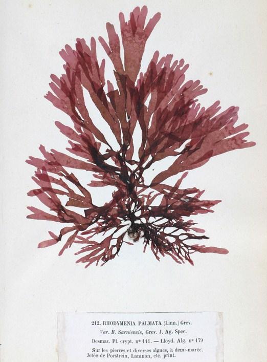 Depiction of Palmaria palmata