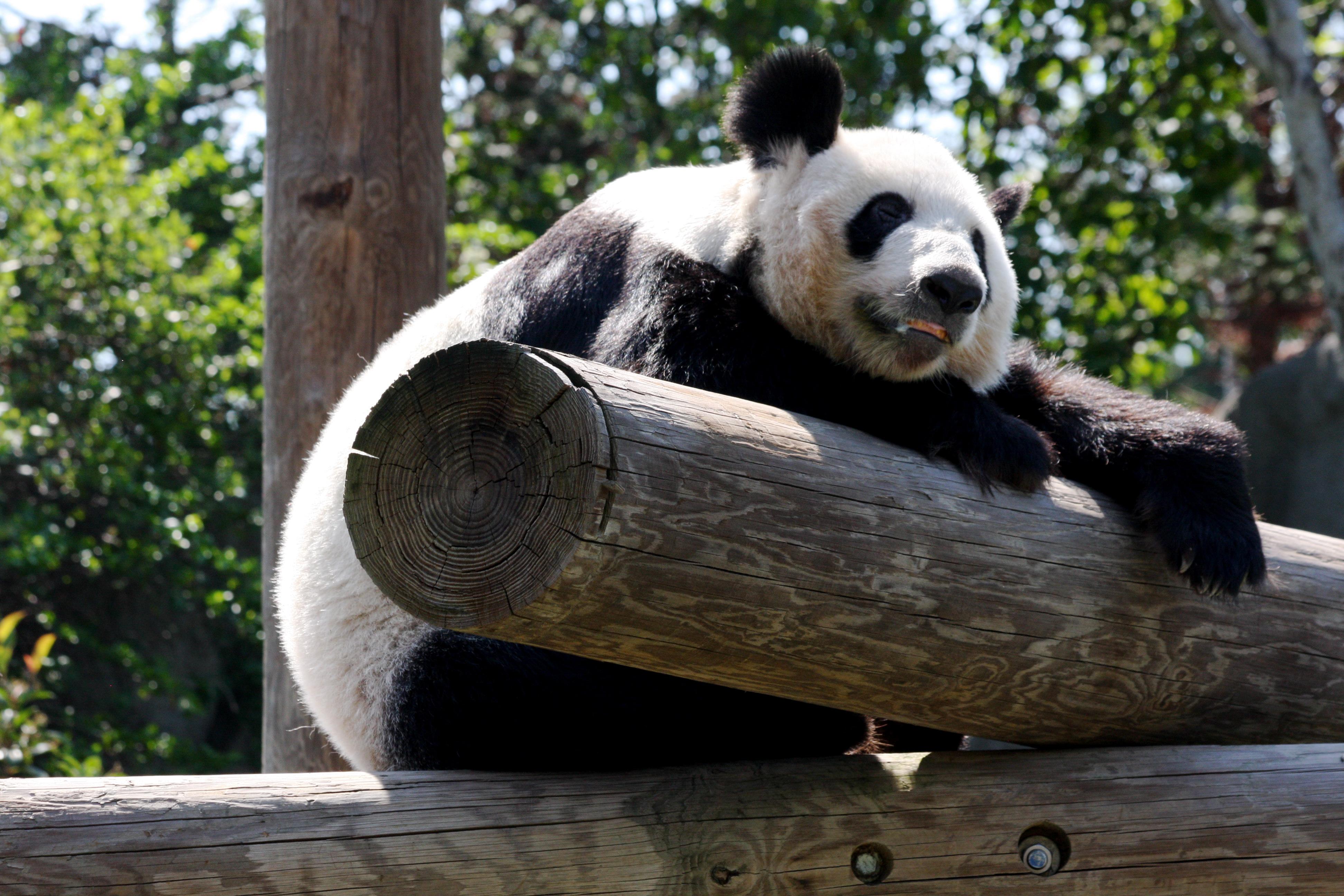 Hewan Purba2016 Panda Petting Zoo United States Images