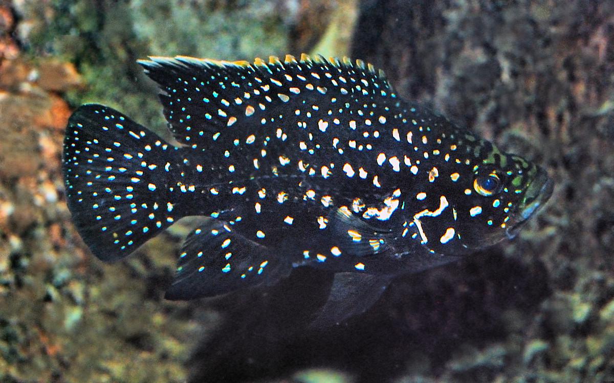 File:Paratilapia polleni Bleeker.jpg - Wikimedia Commons