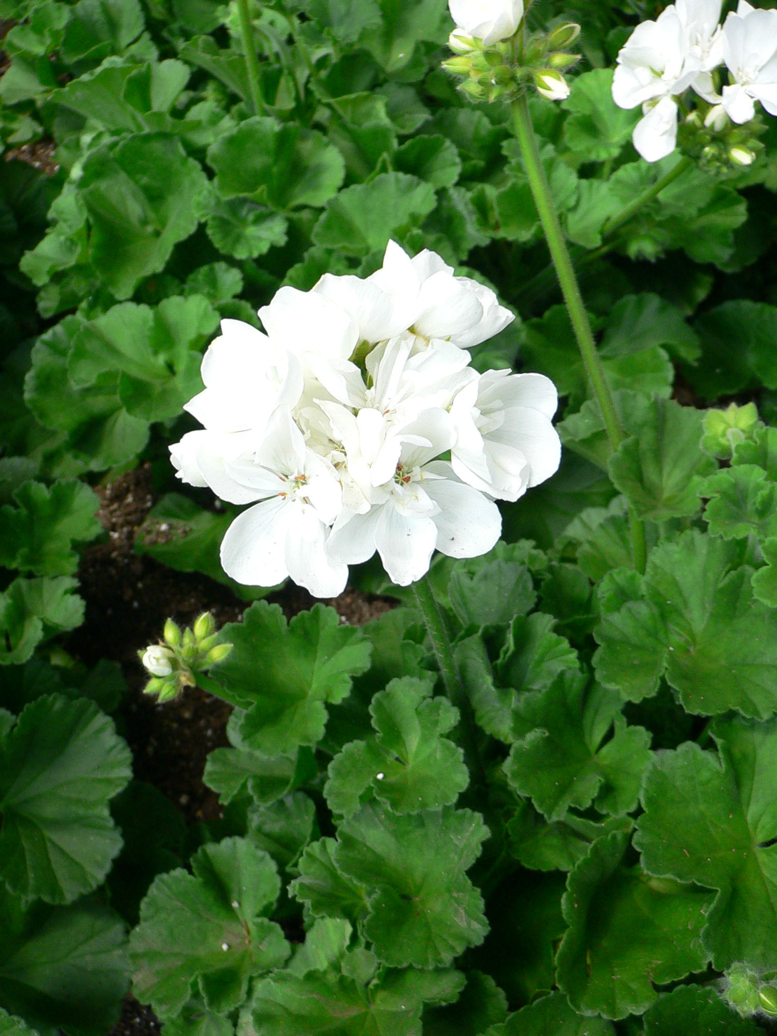 filepelargonium x hortorumjpg wikimedia commons