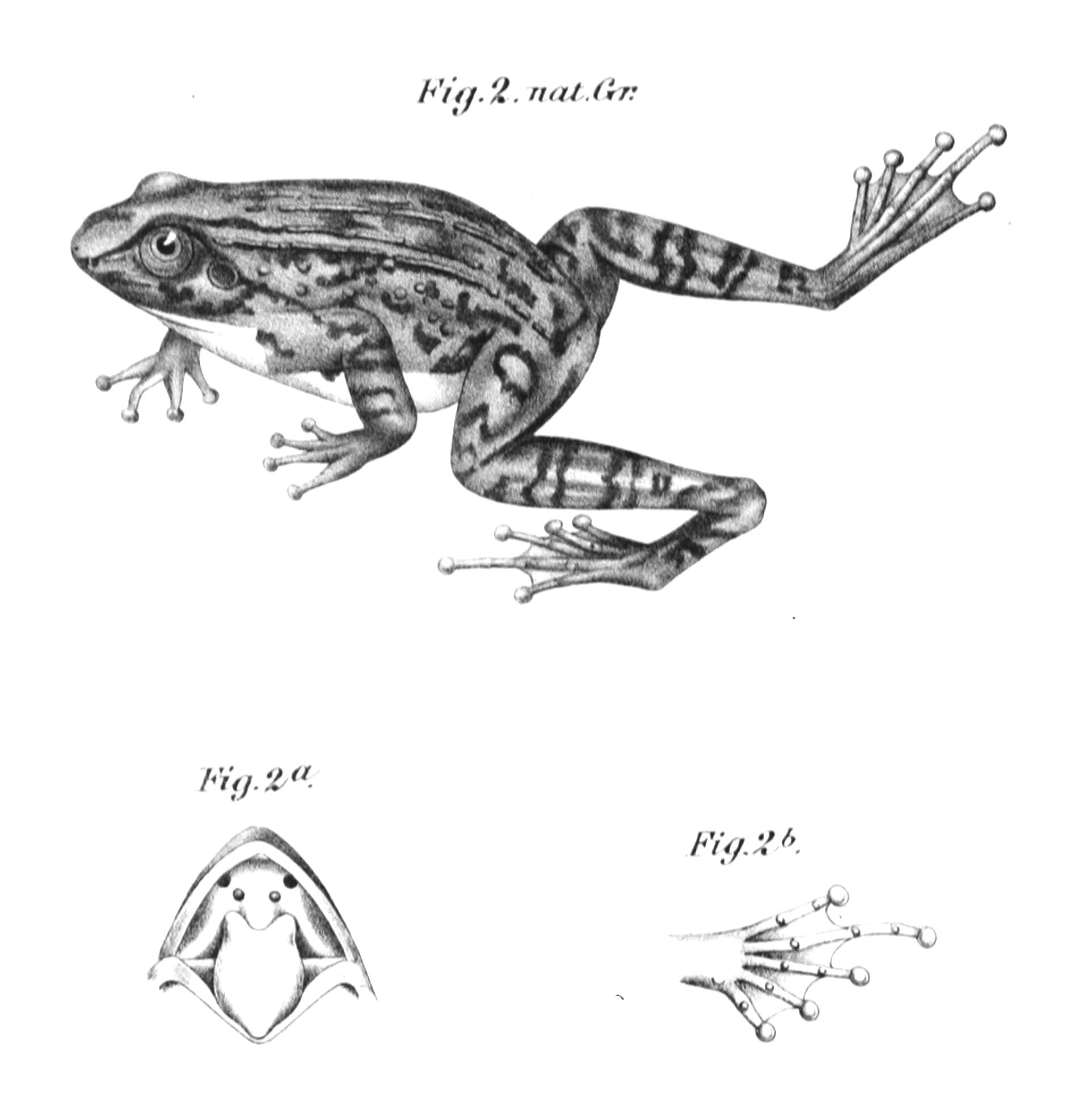 Depiction of Petropedetidae