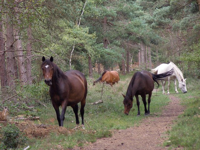 Ponies grazing in Dibden Inclosure, New Forest - geograph.org.uk - 215097