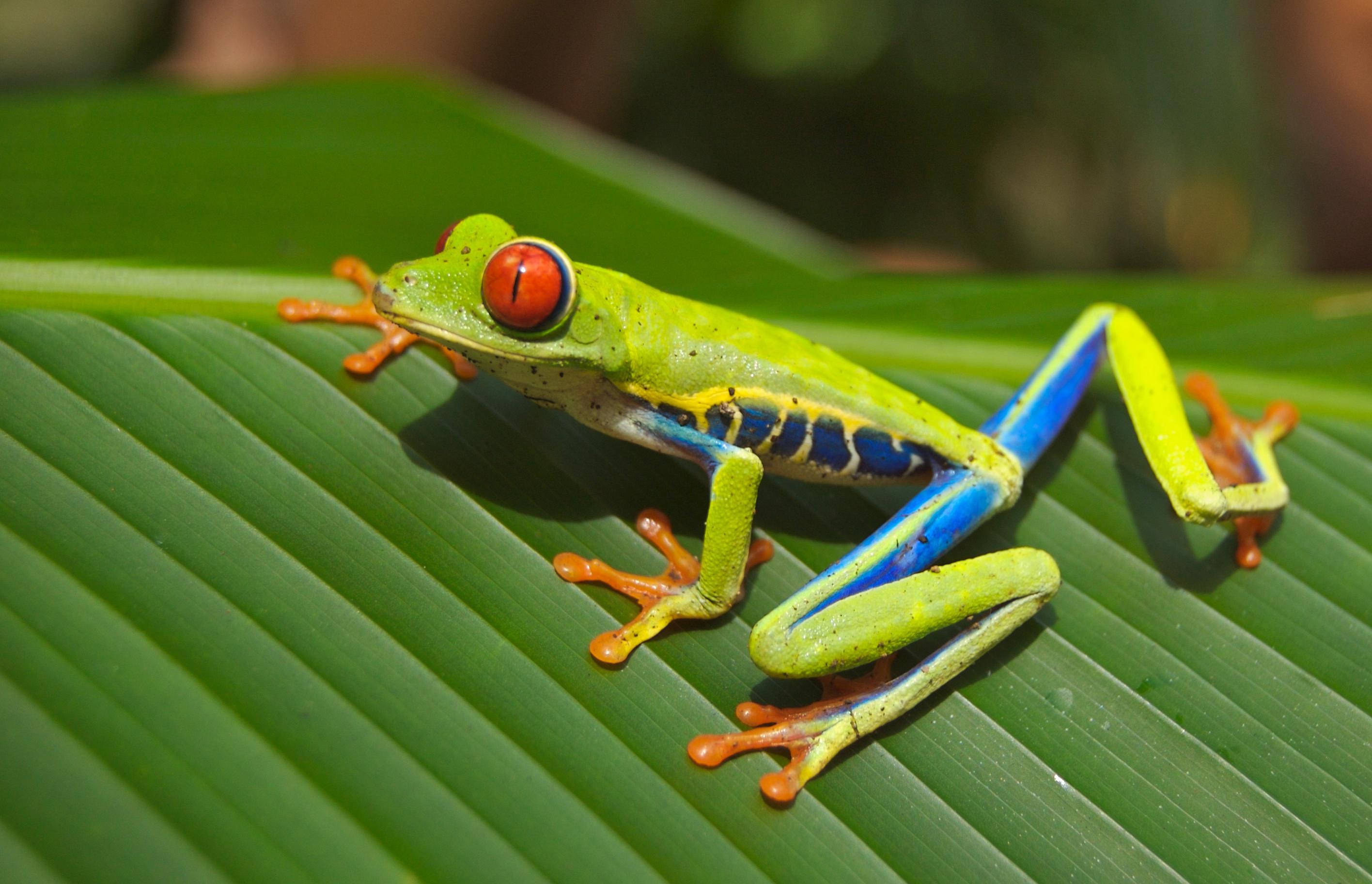 Red Eyed Tree Frog, Sculpting, Miniatures, 28mm, Tutorial, Frog, Monk, Skin Texture