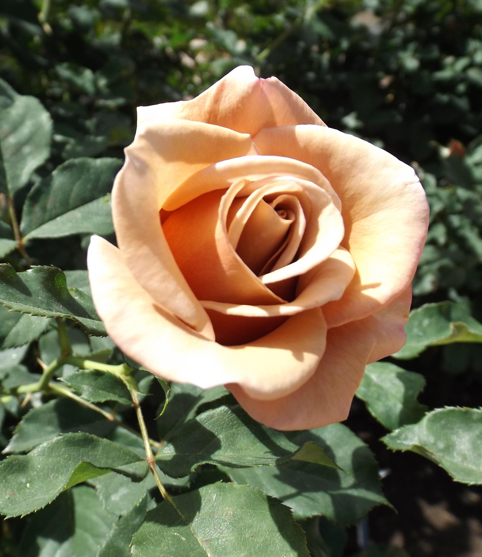 Роза Коко Локо (Koko Loko фото, отзывы, описание