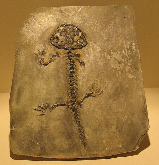 filerussian amphibian fossiljpg wikimedia commons