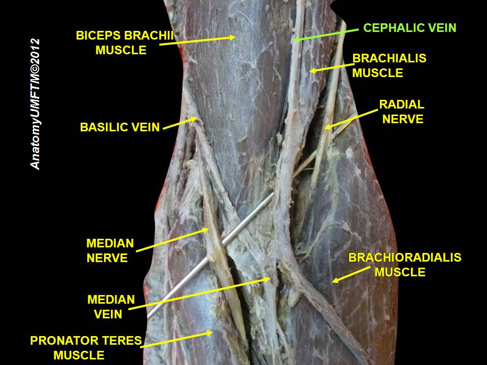 file:slide16yyy - wikimedia commons, Cephalic Vein