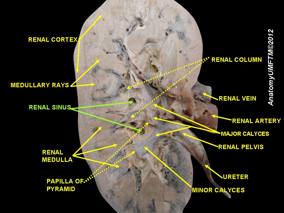 Renal sinus anatomy