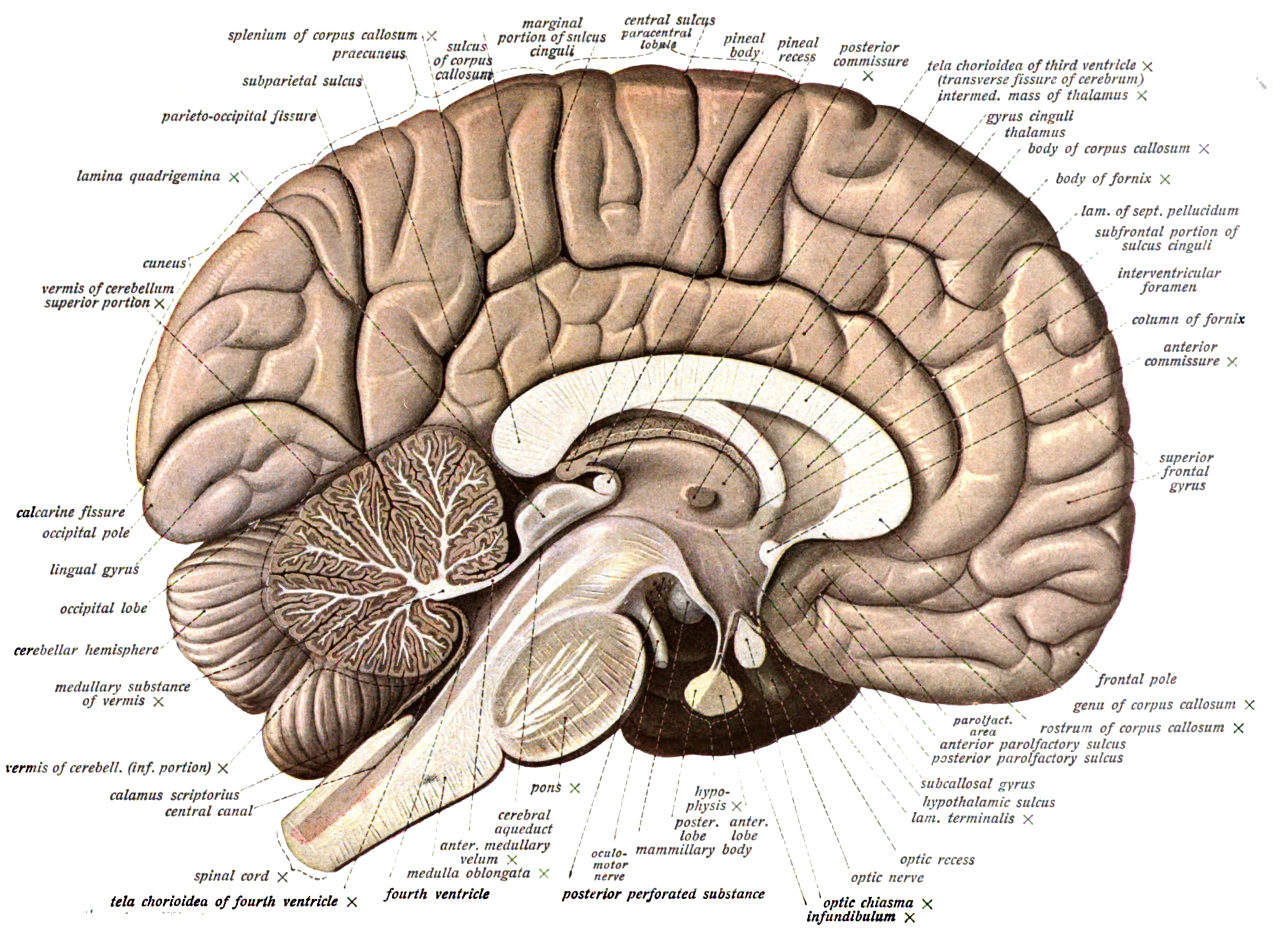 Lateral Fissure Of The Brain Brain with cerebellum showing