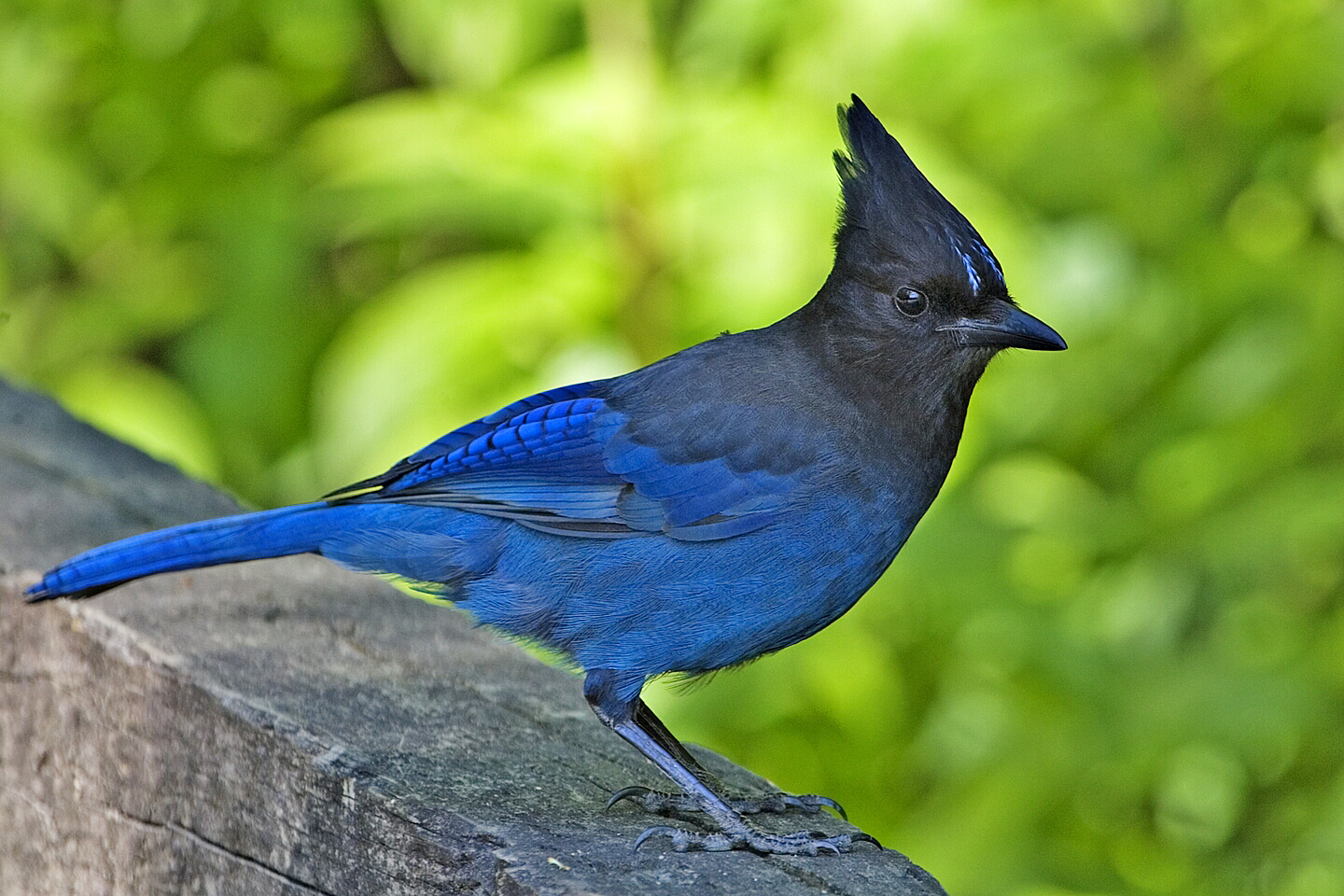 Steller's Jay is named after the German naturalist Georg Steller