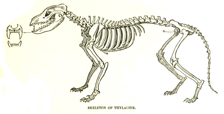 Soubor:ThylacineSkelLyd.jpg
