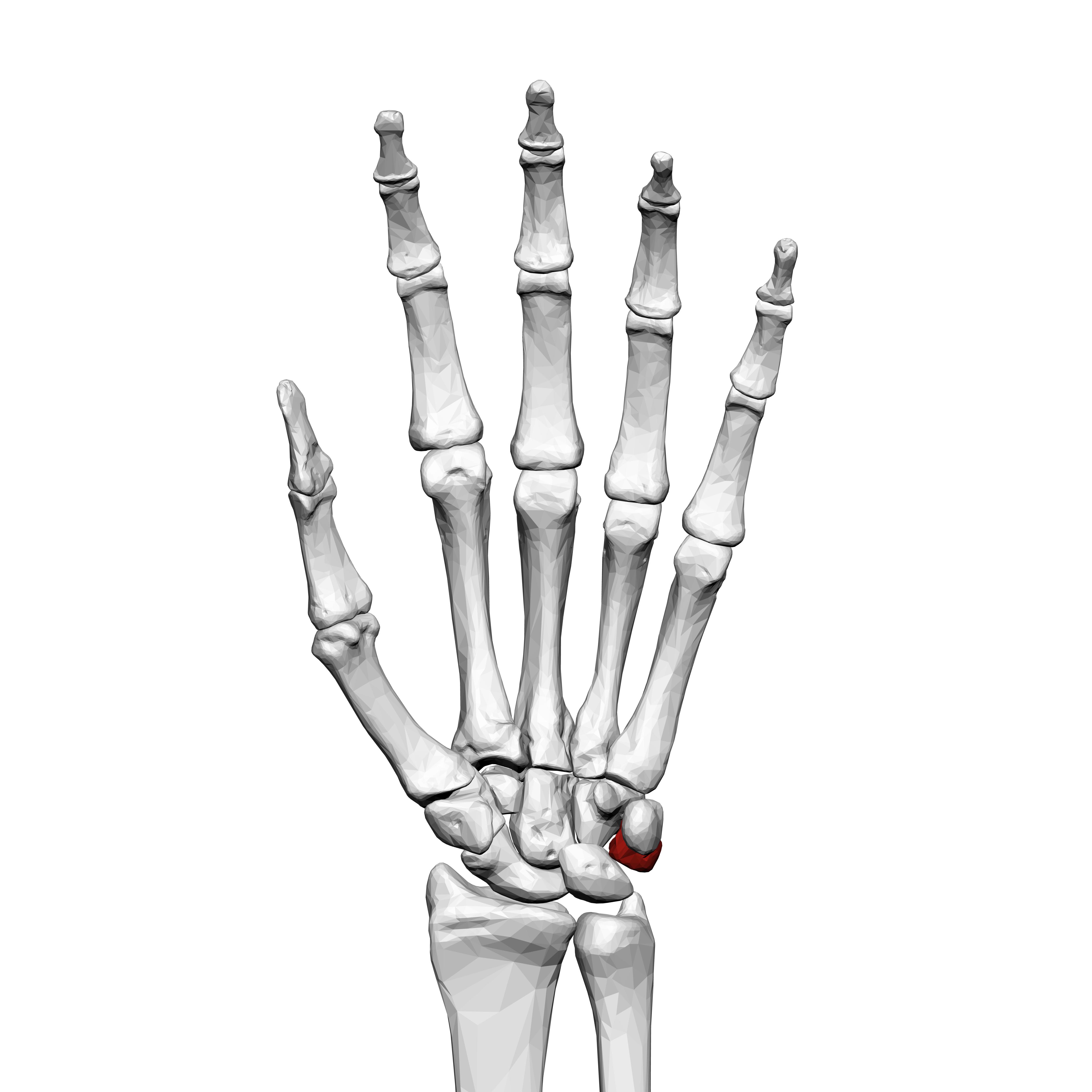 esqueleto de la mano