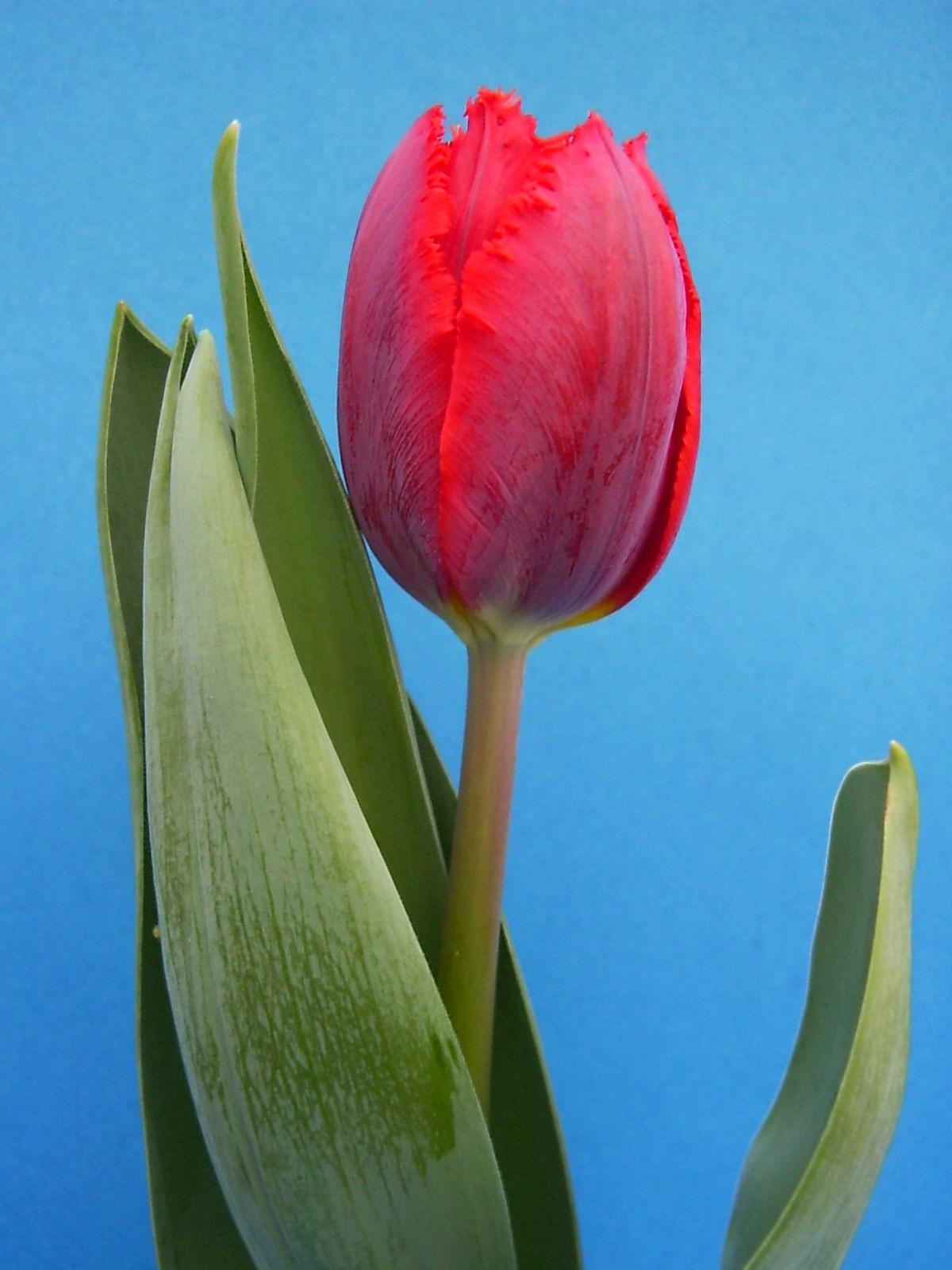 Plik:Tulipan (Ama).JPG – Wikipedia, wolna encyklopedia