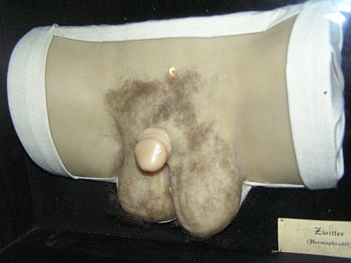половых органов гермафродита фото