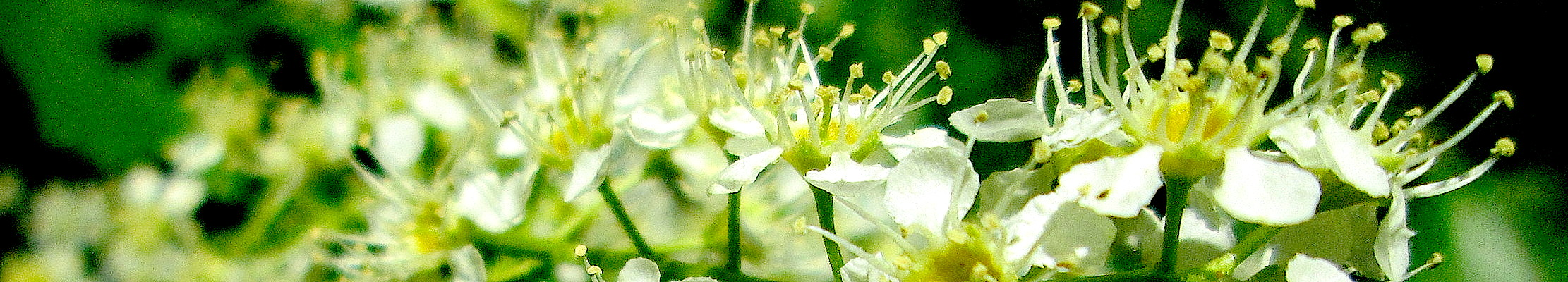 Цветение Черёмухи поздней.