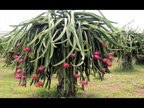 pitaya roja
