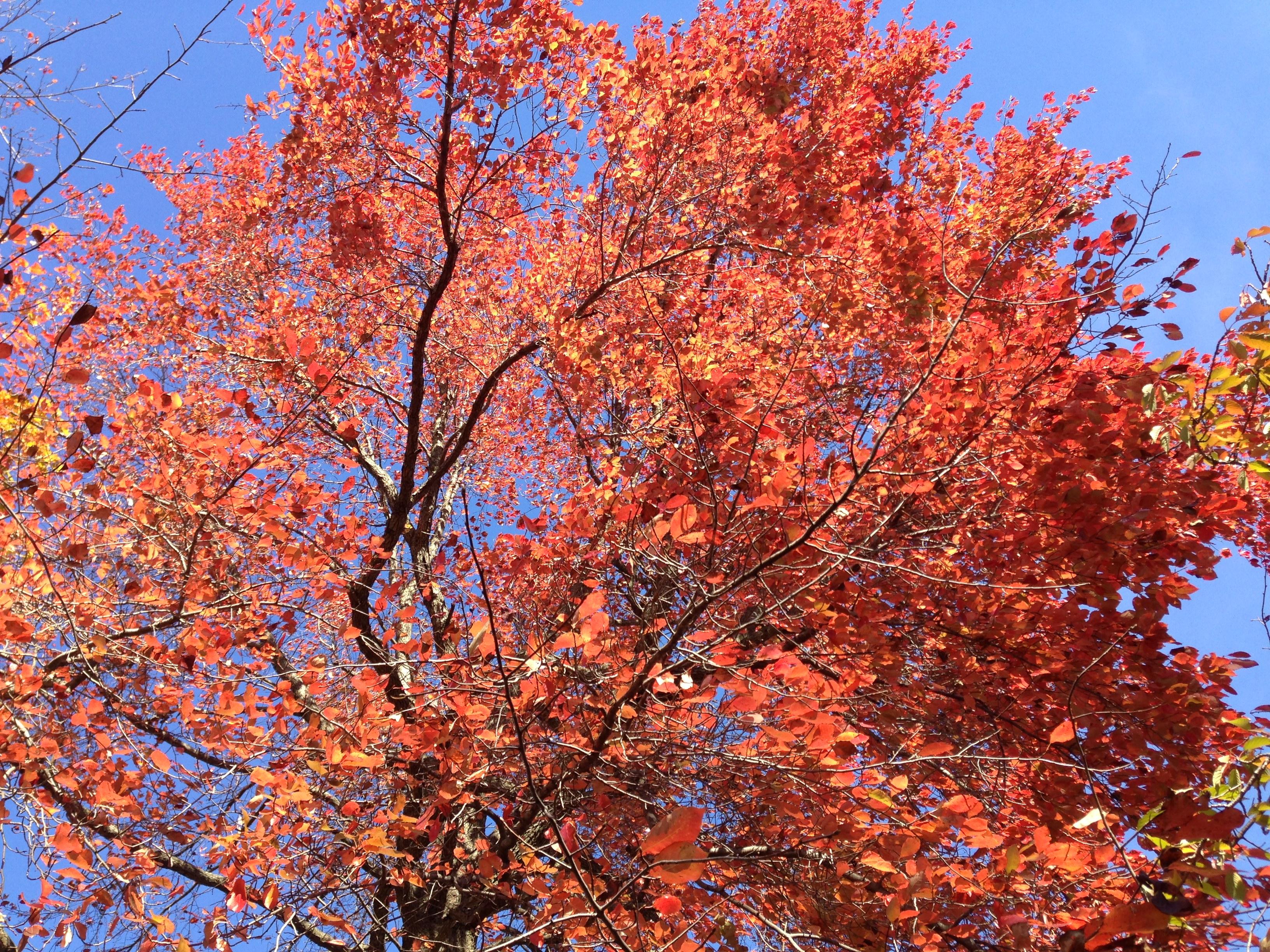 file2014 11 02 12 47 37 black tupelo foliage during autumn at the