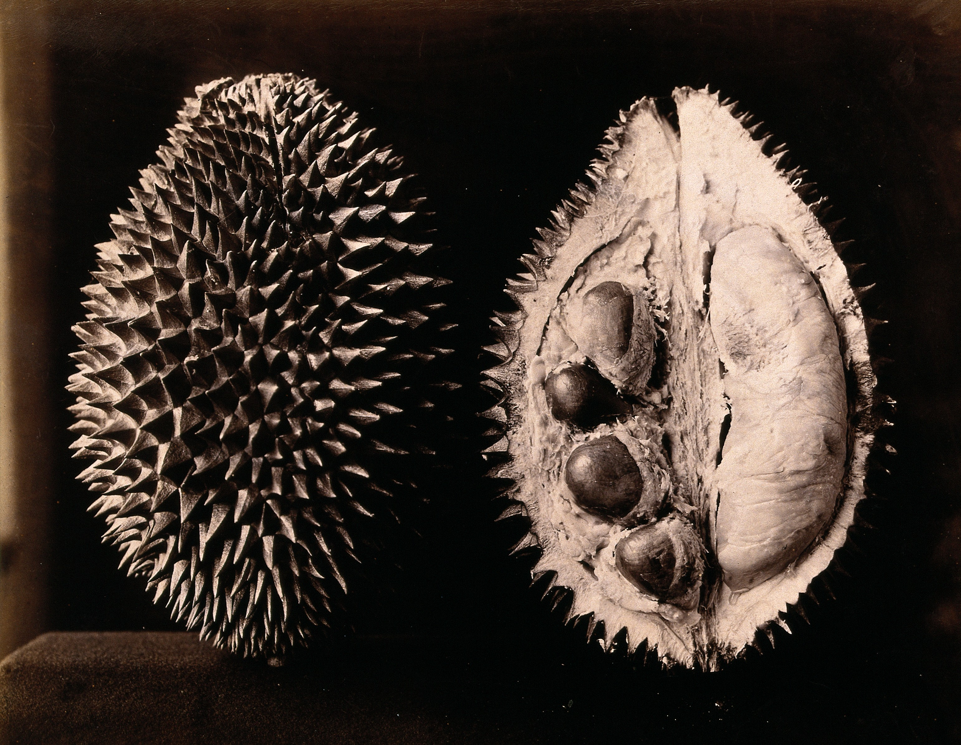Filea Durian Durio Zibethinus An Entire And Sectioned