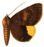 <i>Achaea dejeanii</i> Species of moth