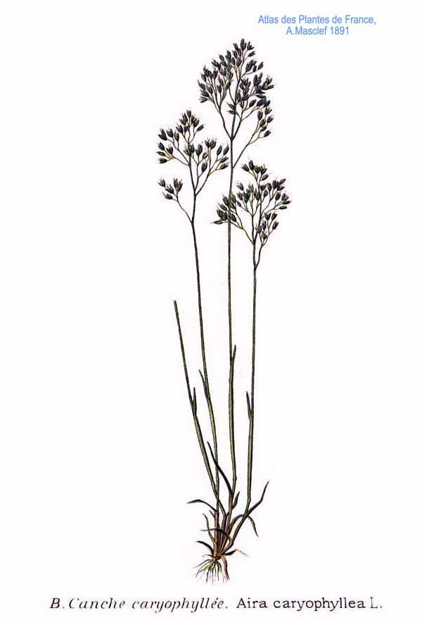 Aira Caryophyllea