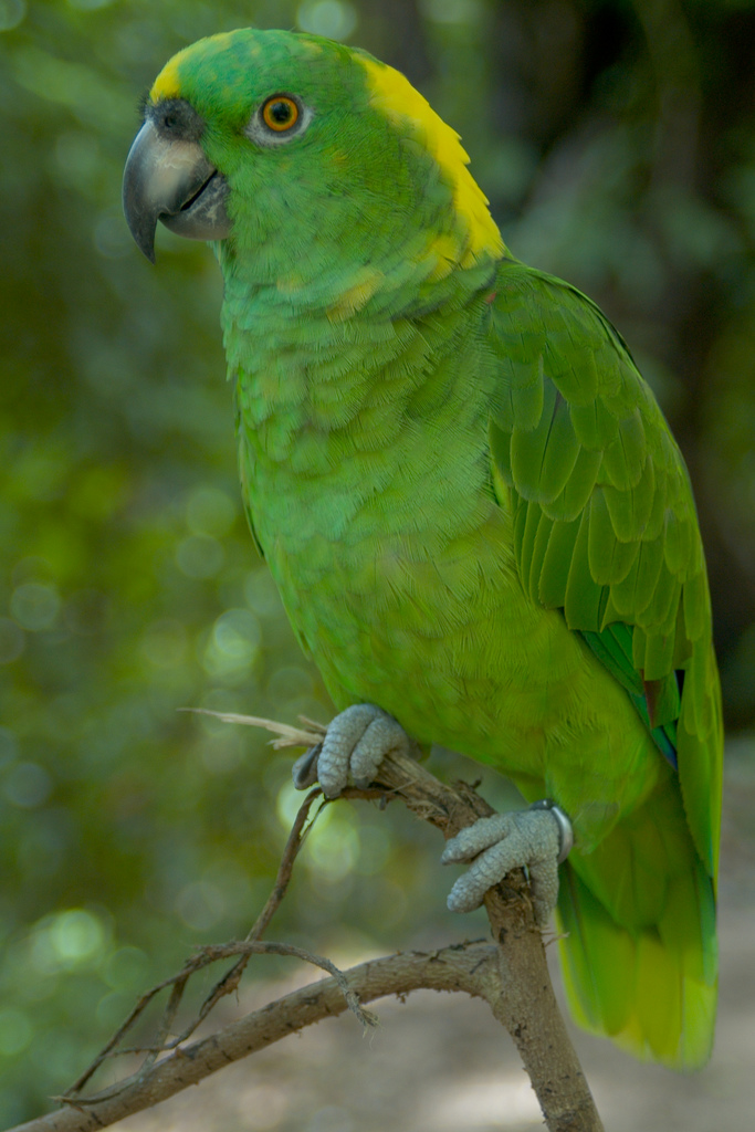 Yellow Crowned Parrot