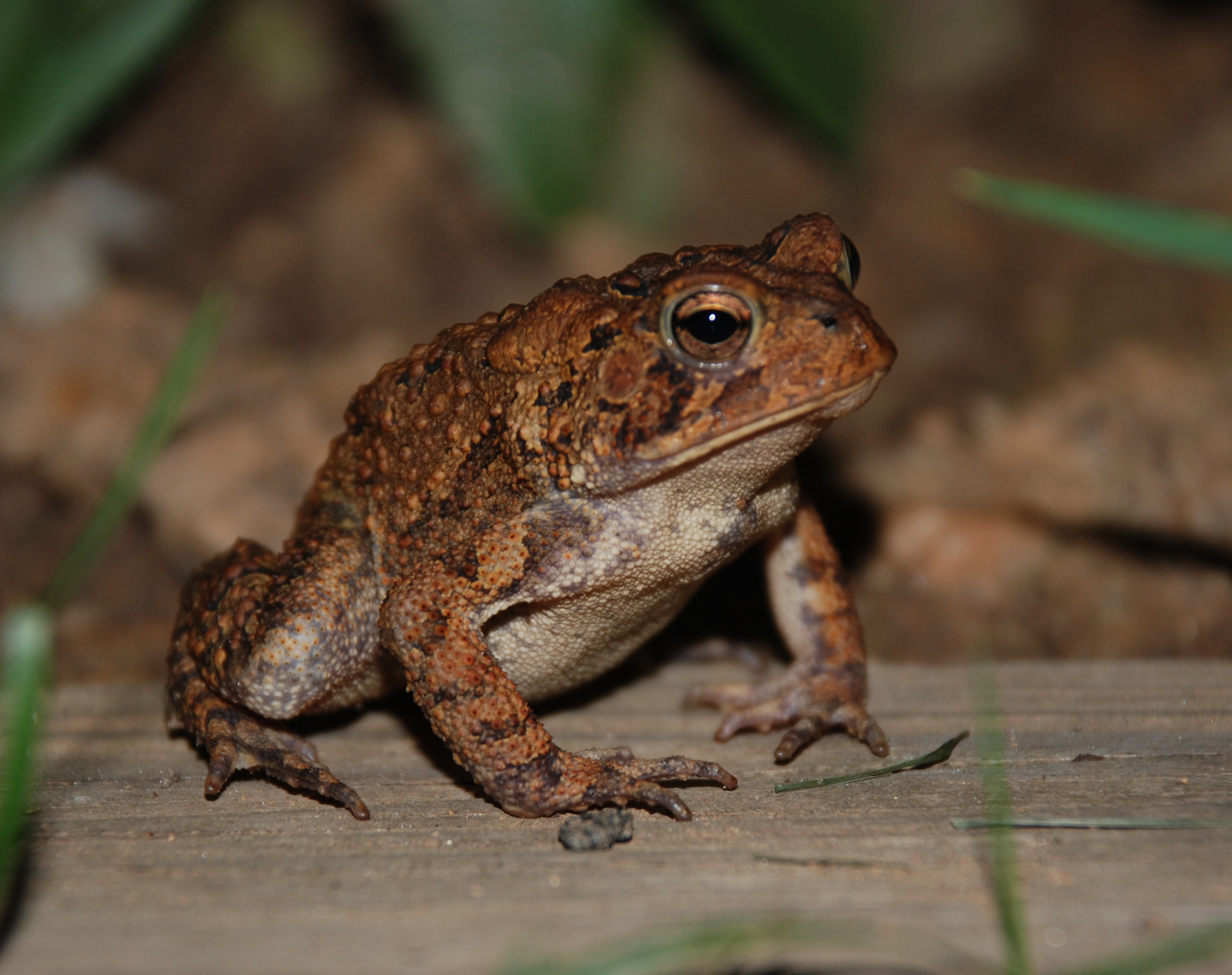Image Result For Can Brown Frogs