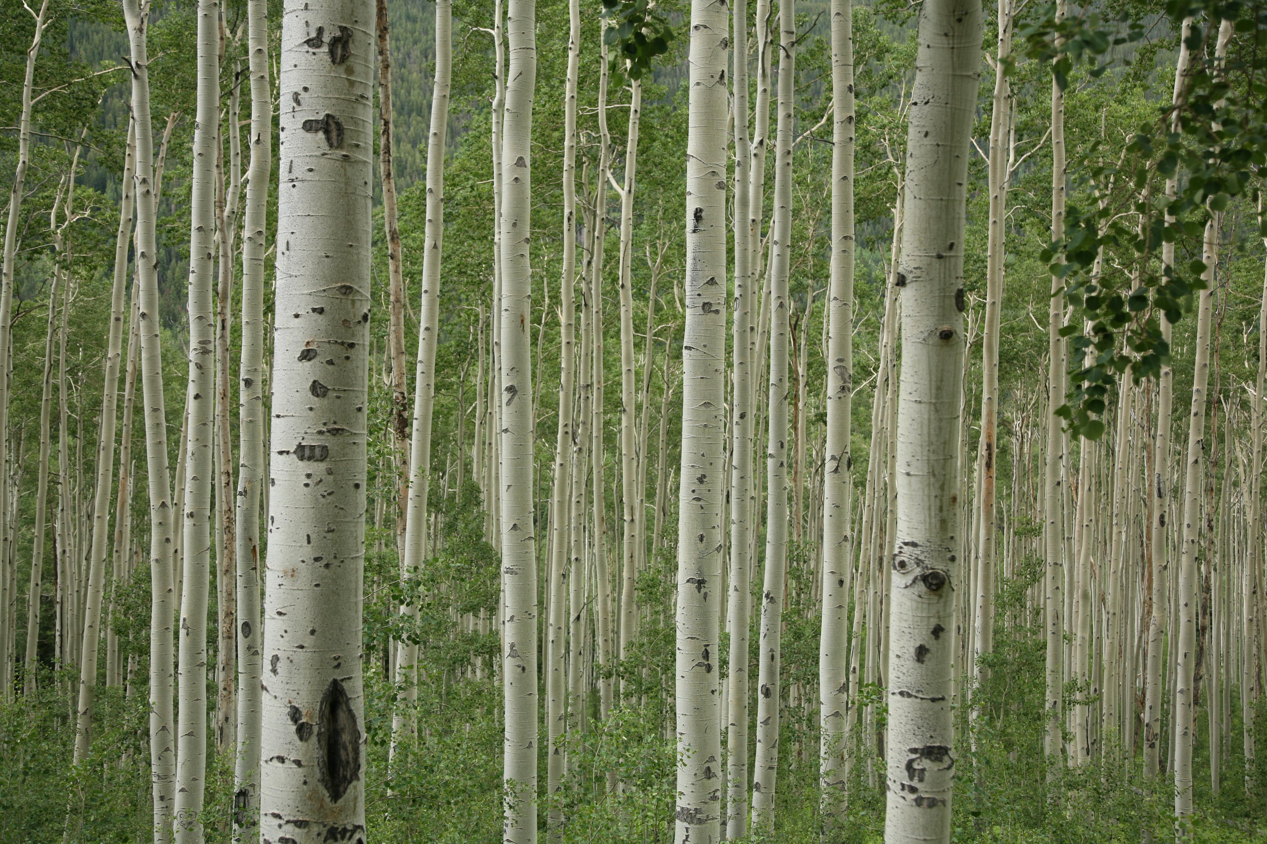 File Aspen Trees 2 Jpg Wikimedia Commons