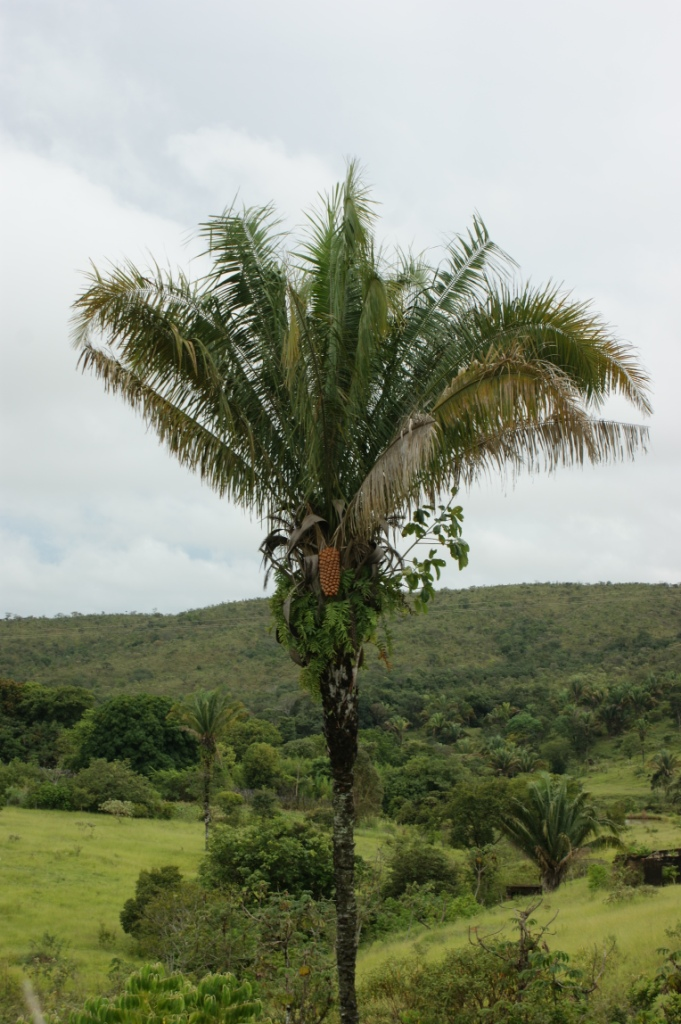 Attalea (plant)
