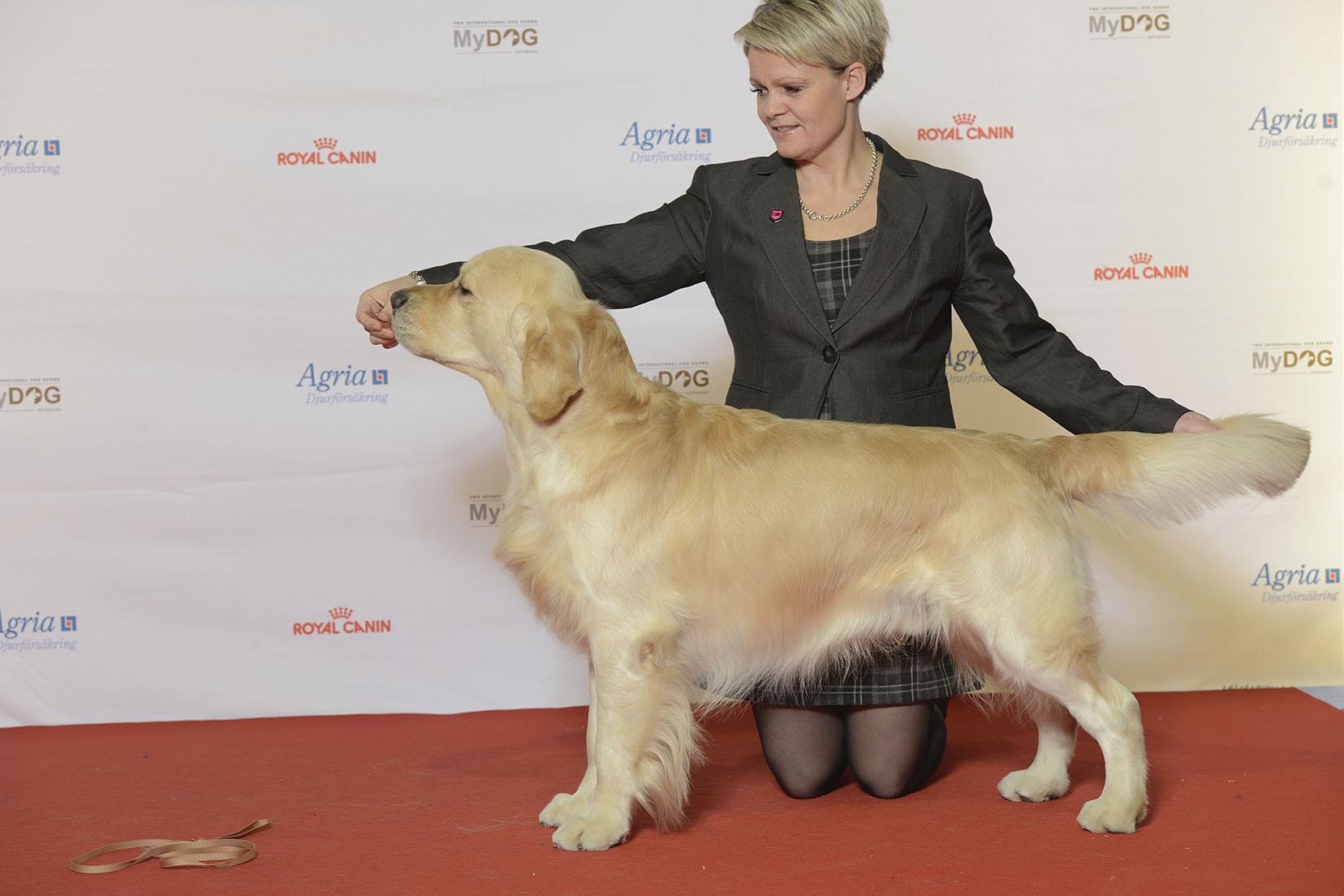 Image Result For Golden Labrador Retriever