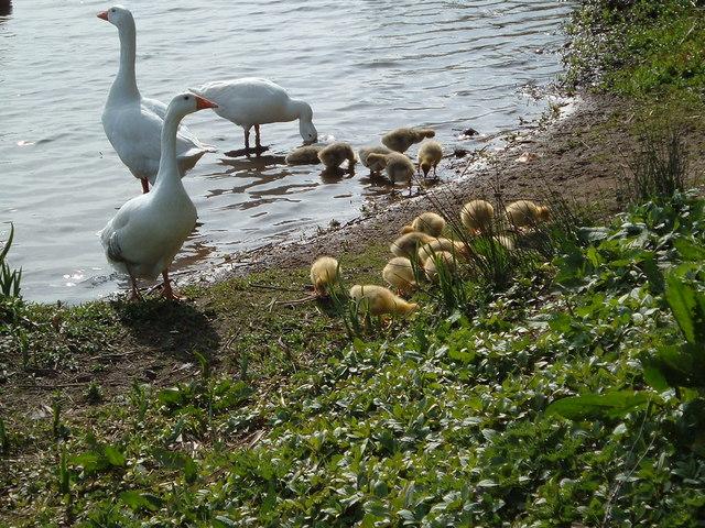 Babies on Doffcocker - geograph.org.uk - 500848