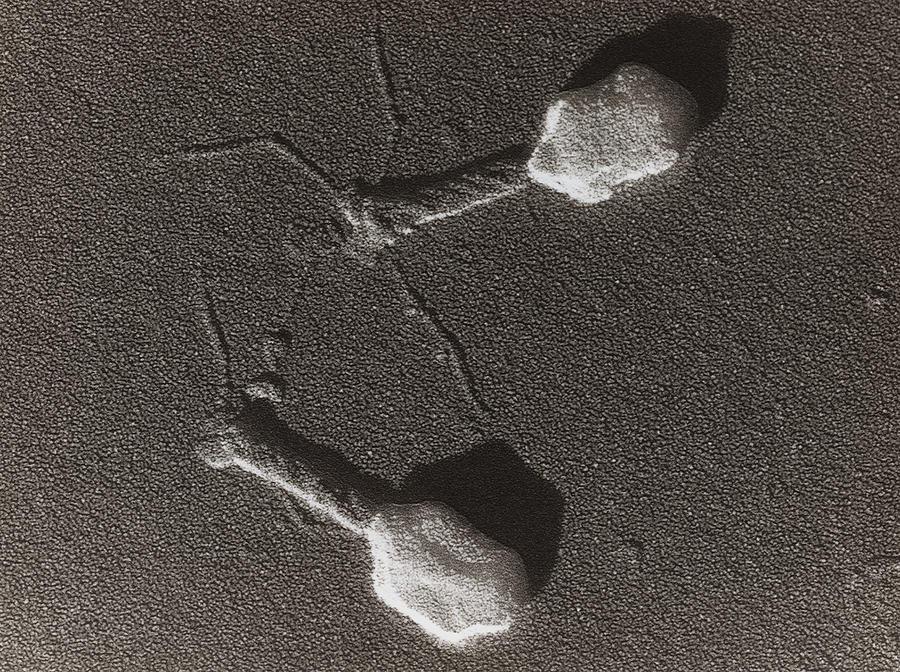 Fagos al microscopio electrónico.fagoterapia