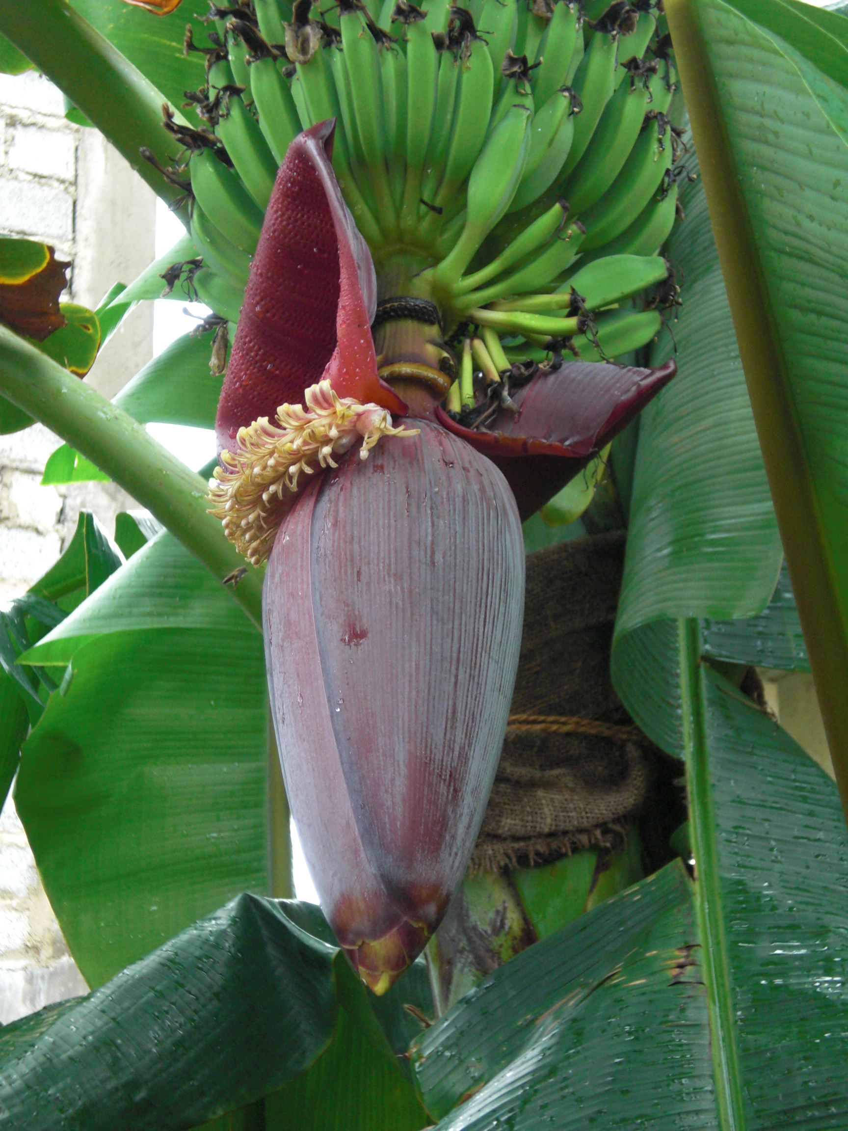 File Banana Fruits And Inflorescence Jpg Wikimedia Commons
