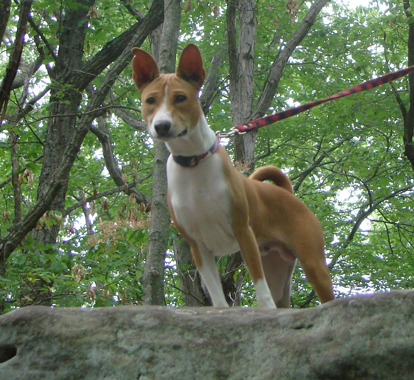 Basenji Dog Breed