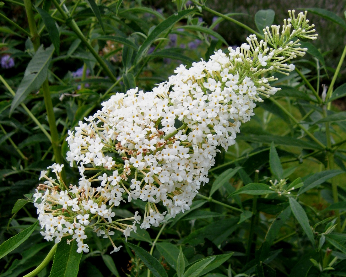 Buddleja davidii 'Monite' = Nanho White - Wikipedia