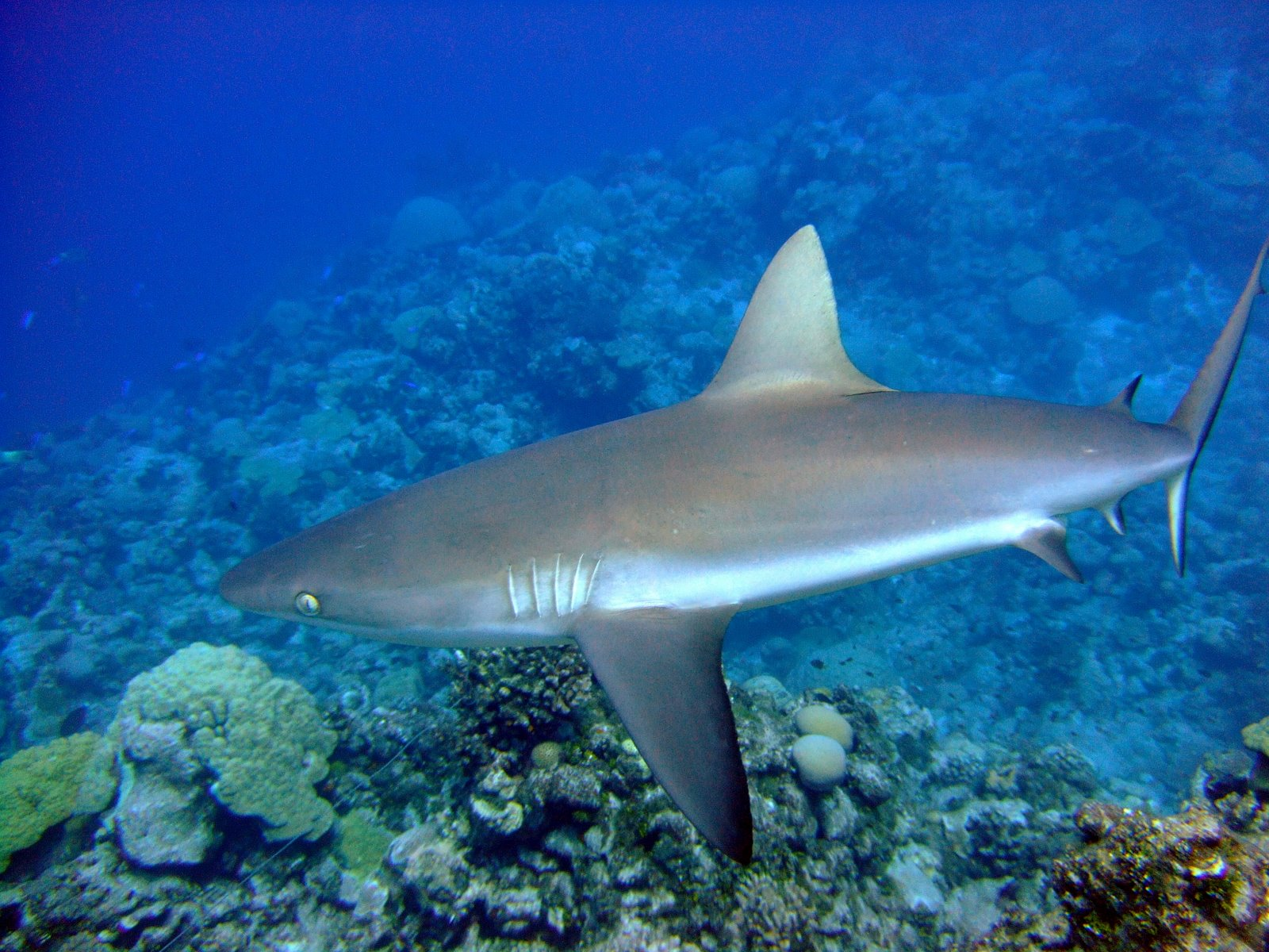 Photo of long-finned shark, swimming