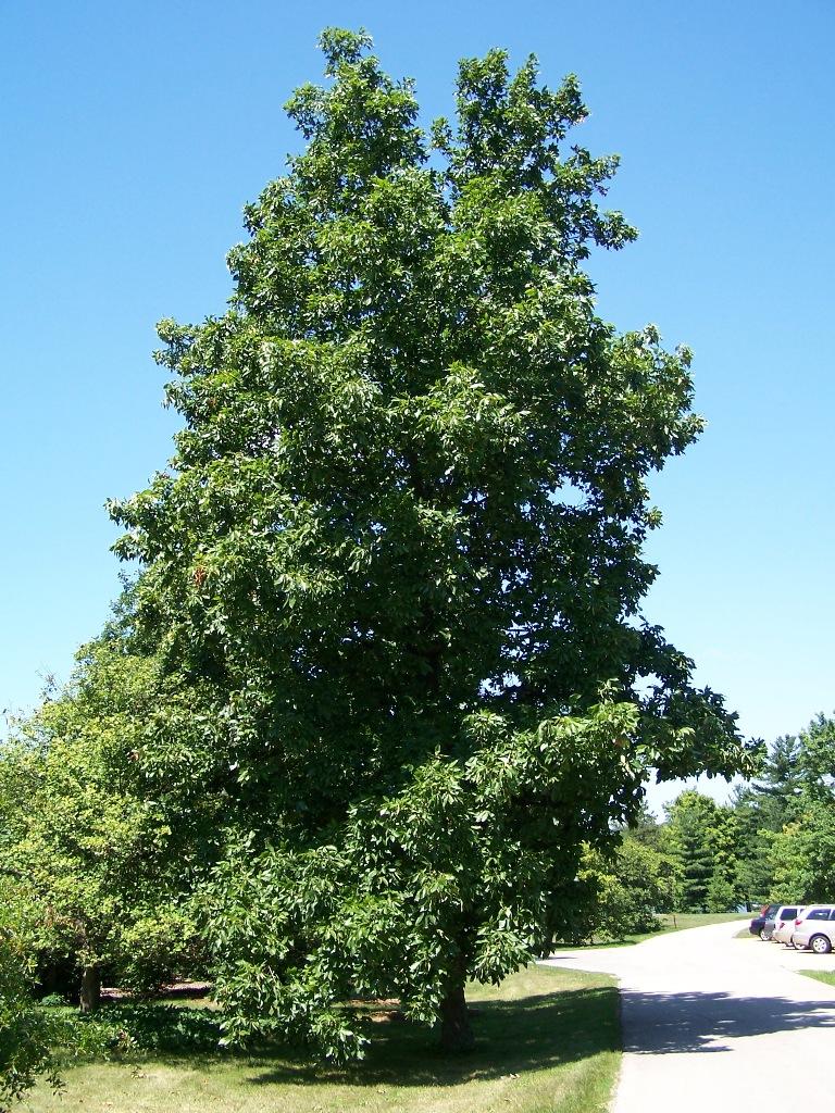 hickory wikipedia