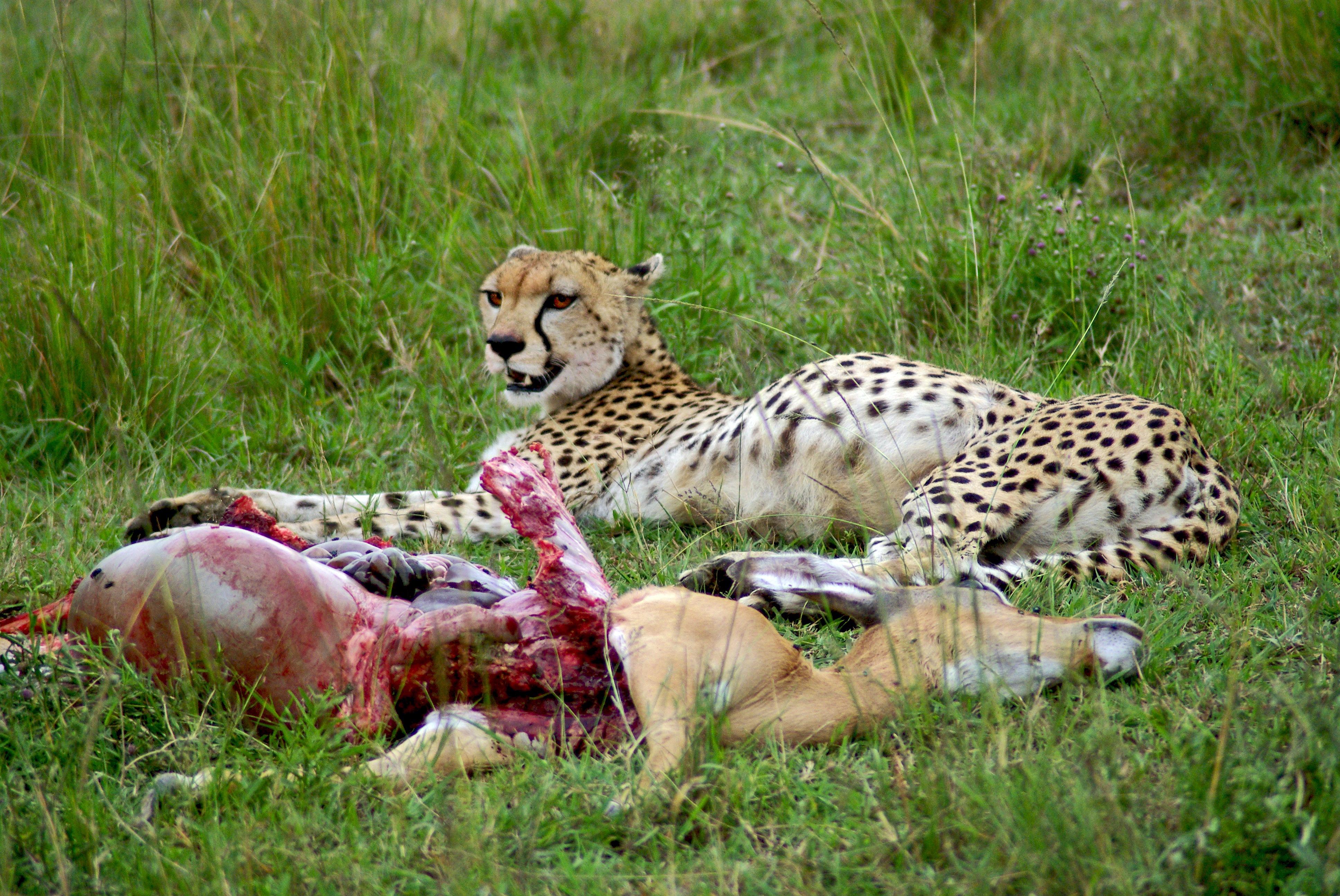 file cheetah with impala kill jpg wikimedia commons