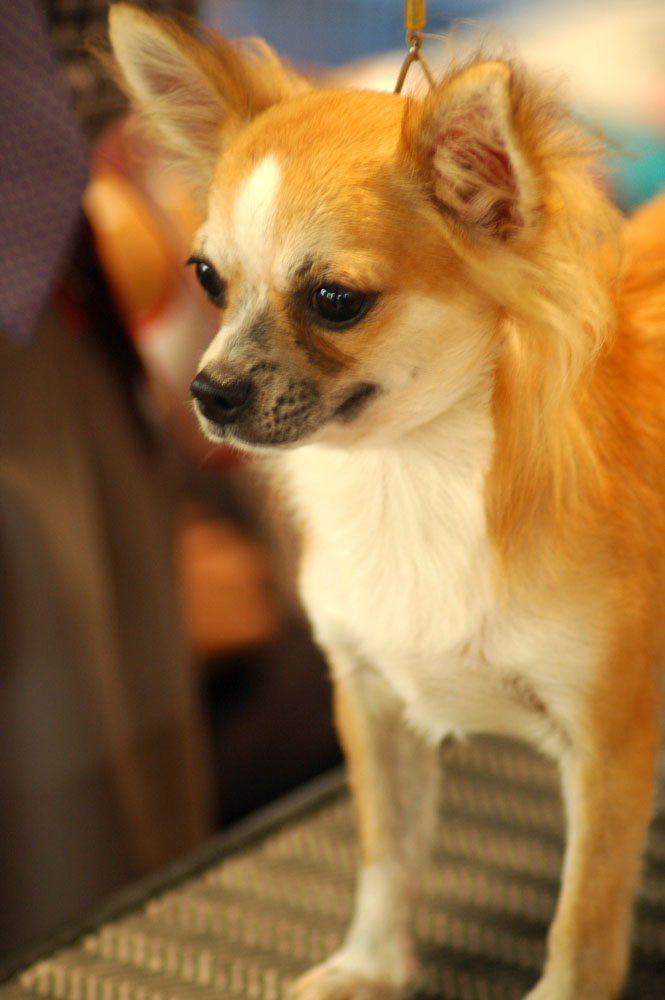 long haired chihuahua pictures. Файл:Chihuahua long-haired
