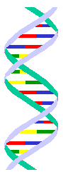DNA measures 34 angstroms long by 21 angstroms wide for each full cycle of its double helix spiral. 34/21 = the Golden Ratio.