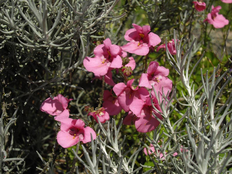 Diascia 'Pink Butterfly' by Christine Boulby 1
