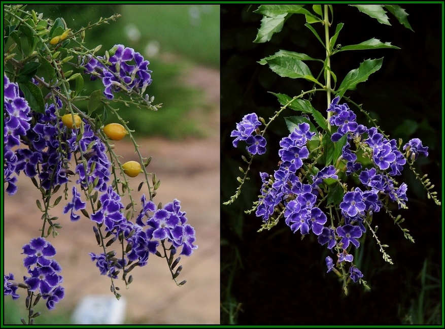 Duranta erecta Geisha Girl , Golden Drew Drop,
