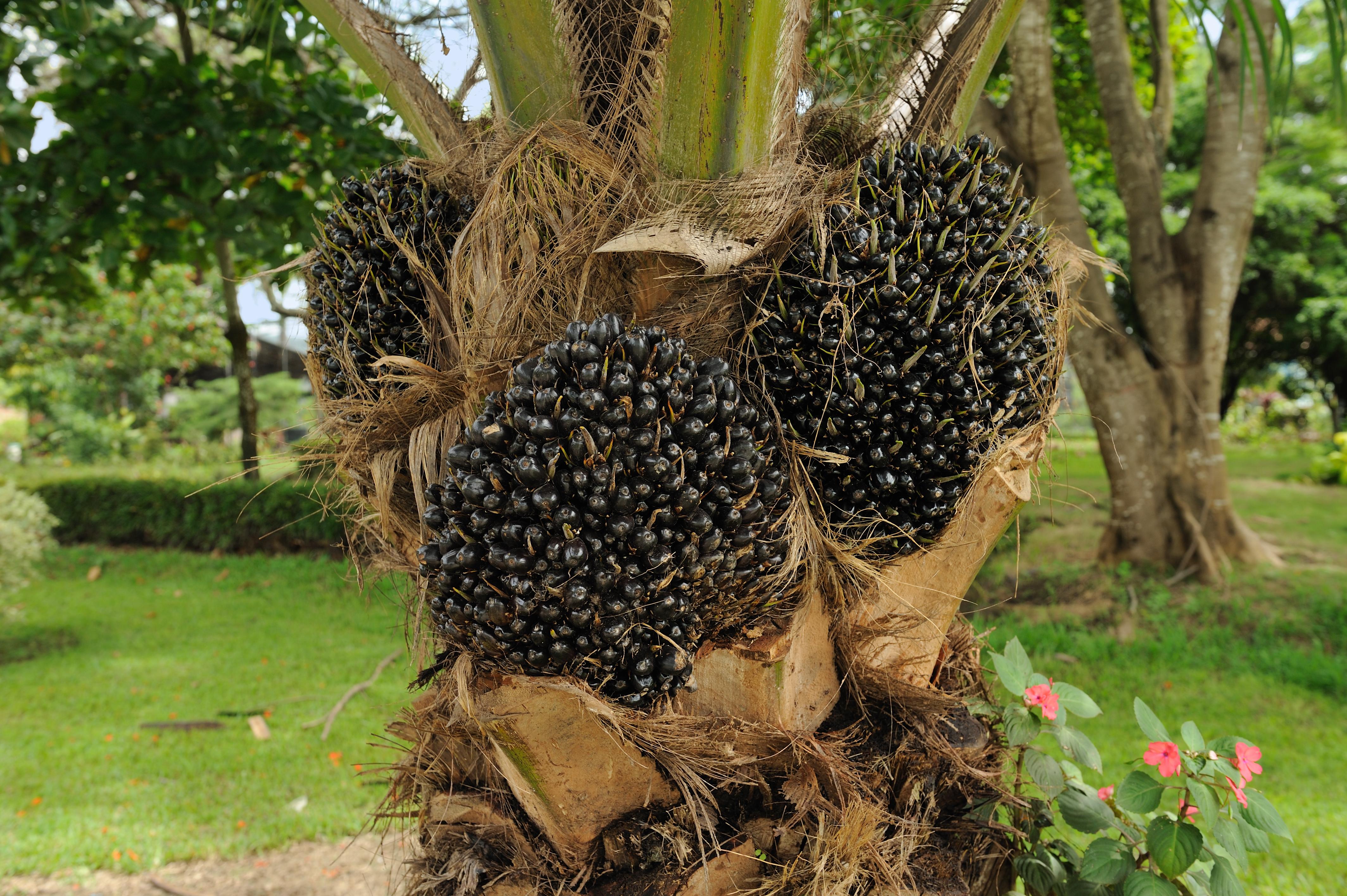 This image has an empty alt attribute; its file name is Elaeis_guineensis_oil_palm_fruit_Portoviejo_Ecuador.jpg