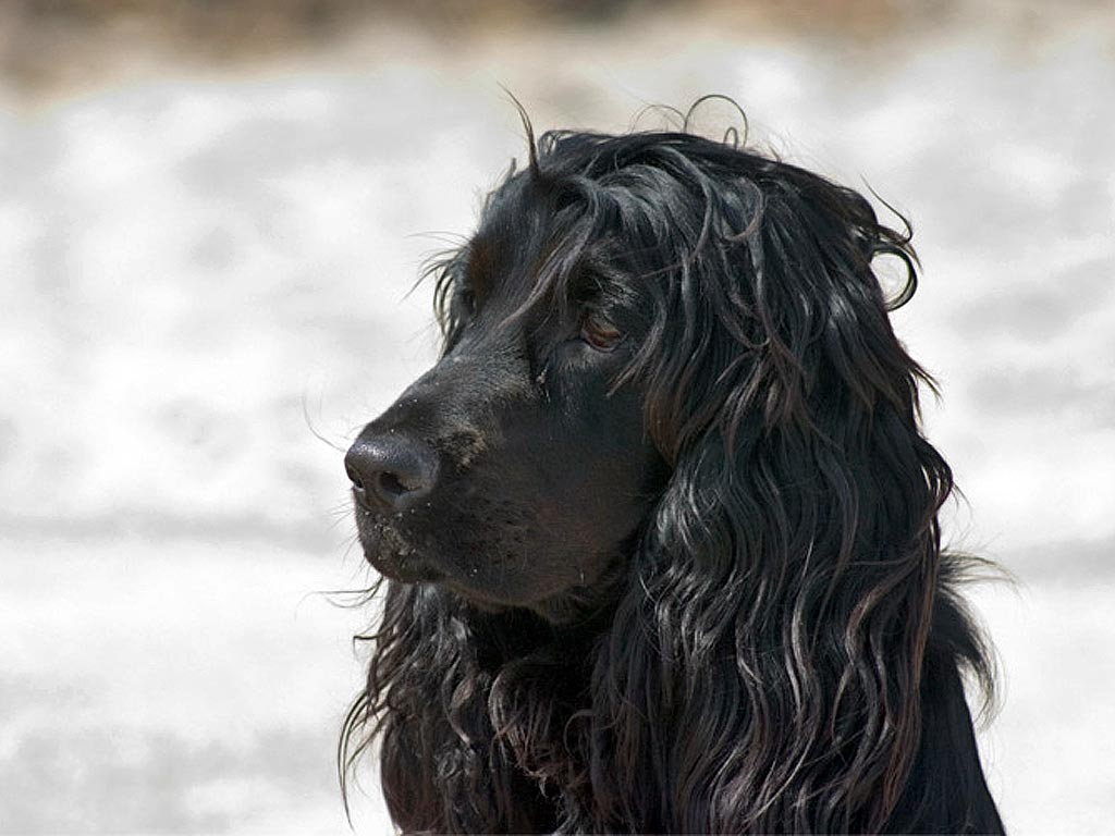 File English Cocker Spaniel 2 Jpg Wikimedia Commons