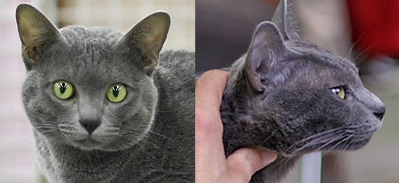 Russian Blue Cat Breeder Nyc
