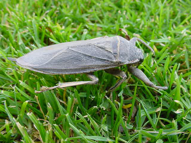 Can Water Bugs Grown To The Size Of A Shoe
