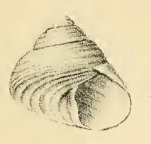 Gibbula leucophaea 001.jpg