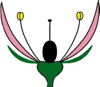 Heterochlamyde