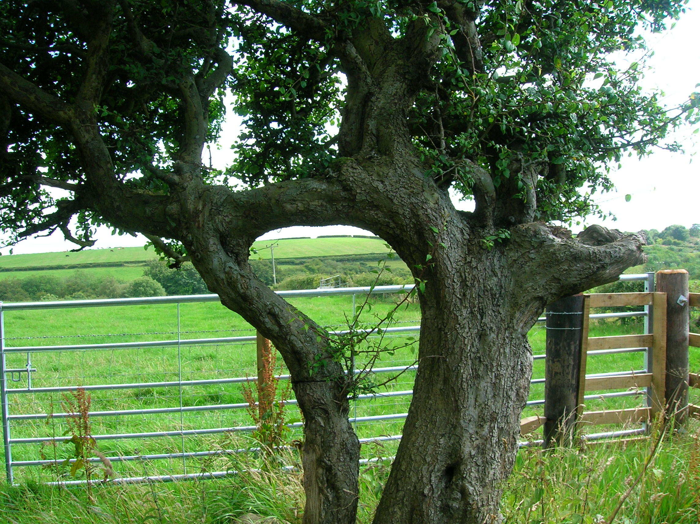 Two Trees Growing Together