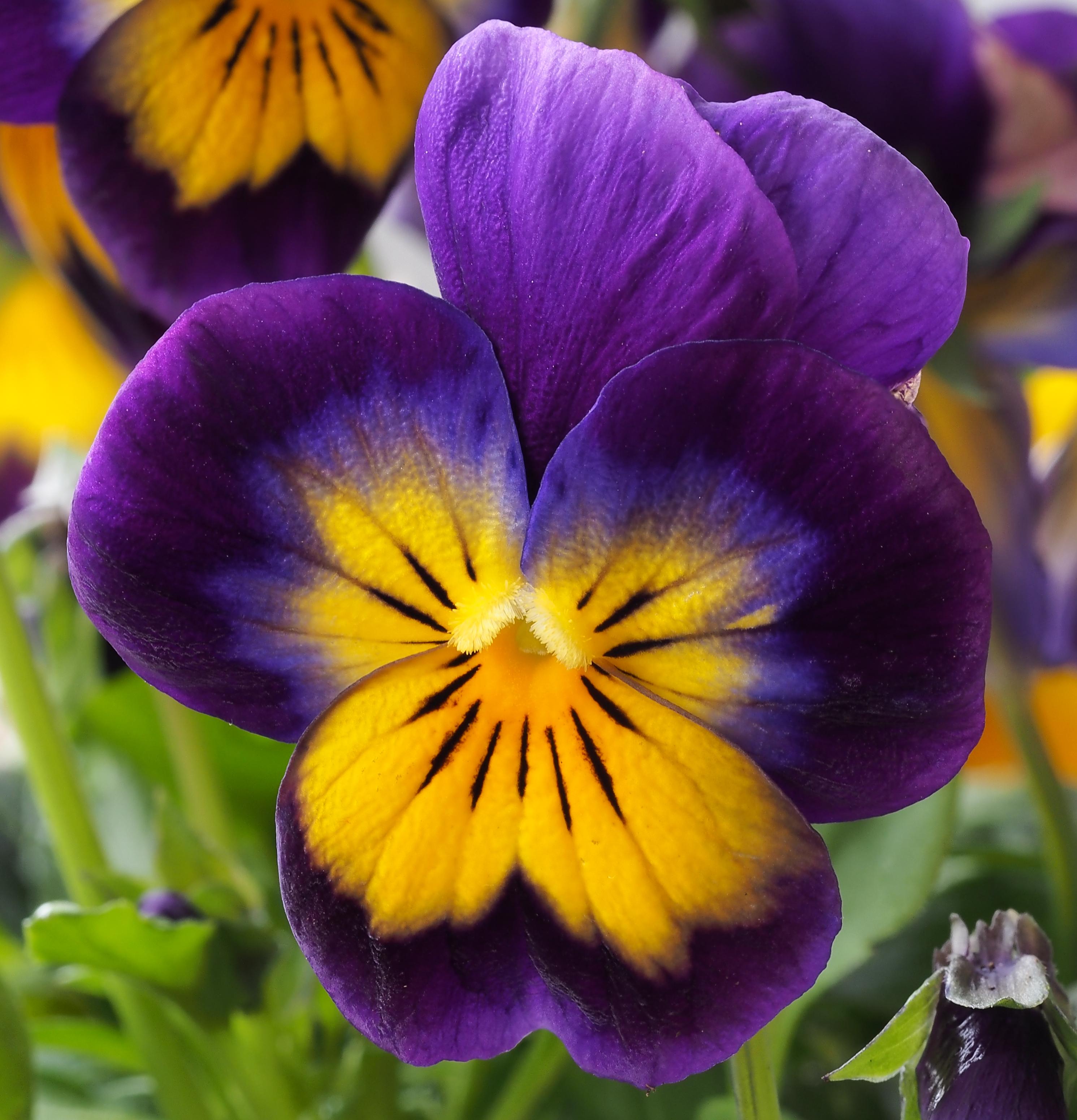 Filehybrid pansy yellow violetg wikimedia commons filehybrid pansy yellow violetg mightylinksfo