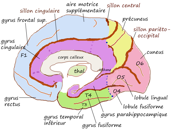 Les gyrus de la face inféro-interne de l'hémisphère cérébrale gauche - Pancrat - Wikimedia Commons