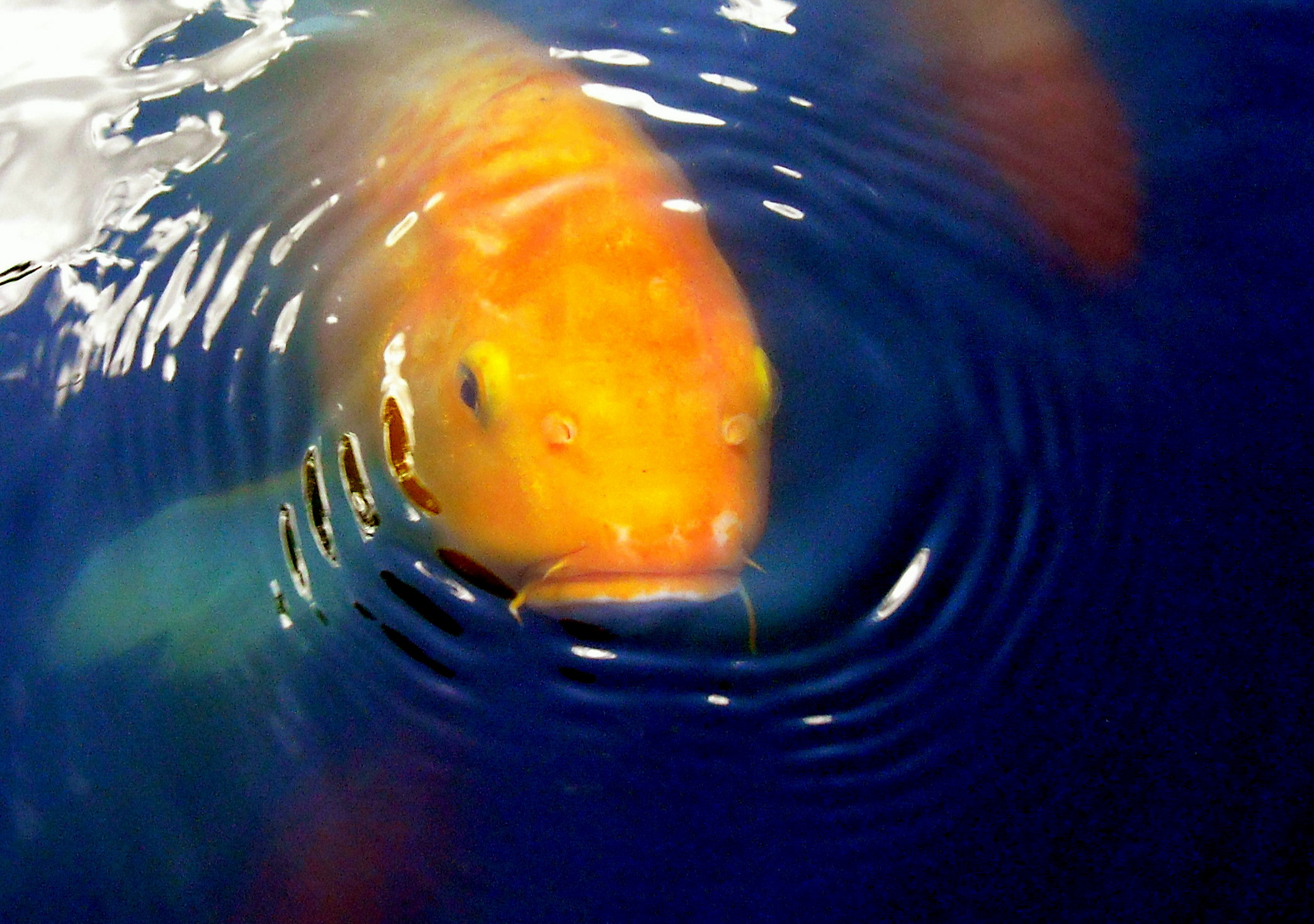 file koi what are you looking at jpg file koi what are you looking at